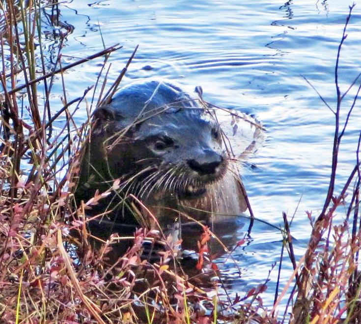 Otter am MacMillan Lake