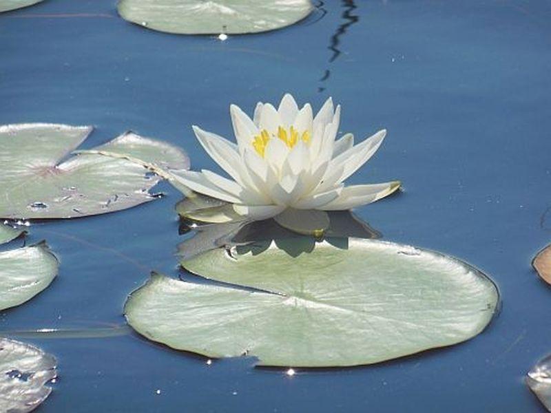 Seerose - Mitchell Lake