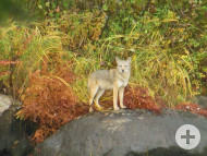 Kojote nahe Sherbrooke
