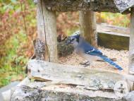 Blue-Jey am Mac Millan-Lake