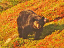 Black Bear am Skyline Trail auf Cape Breton